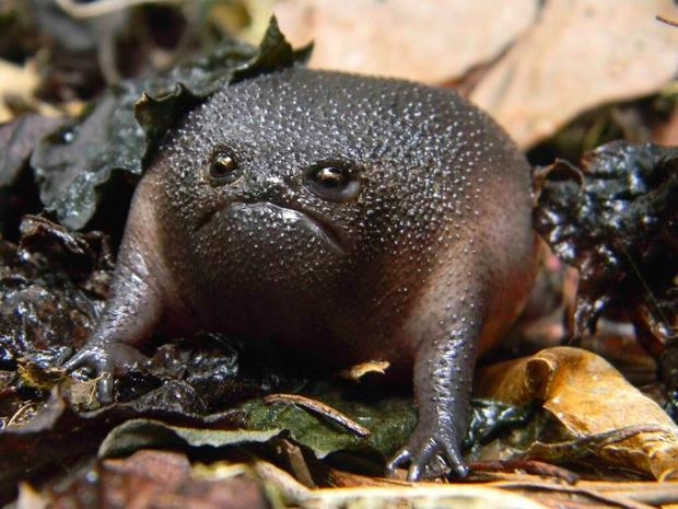 black_rain_frog